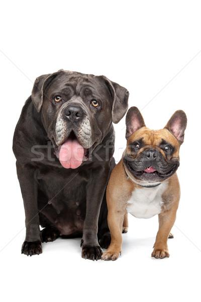 Canne français bulldog séance blanche chien Photo stock © eriklam