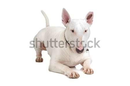 Bull terrier Stock photo © eriklam