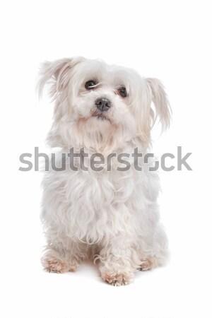 смешанный собака белый крест белом фоне Сток-фото © eriklam