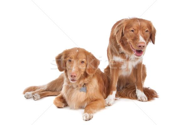 two Nova Scotia Duck Tolling Retriever dogs Stock photo © eriklam