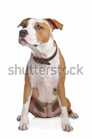 American Staffordshire Terrier  Stock photo © eriklam