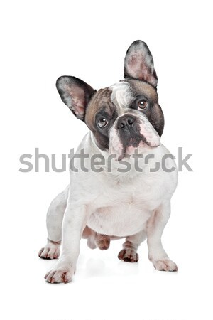 French Bulldog Stock photo © eriklam