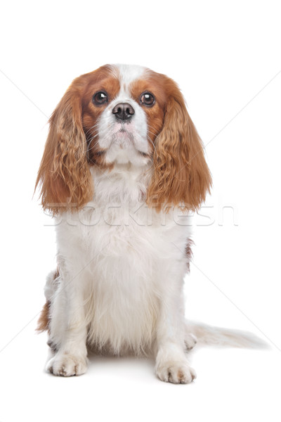 Cavalier King Charles Spaniel Blenheim Stock photo © eriklam