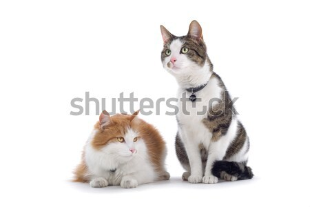 two european short-haired cats Stock photo © eriklam