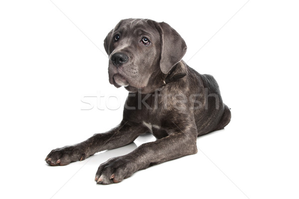 Cane Corso or Italian Mastiff Stock photo © eriklam