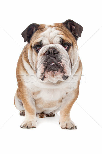 Inglés bulldog blanco animales toro uno Foto stock © eriklam