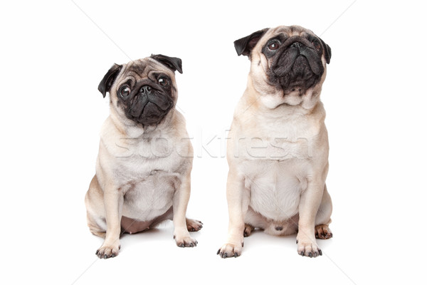 two pug dogs Stock photo © eriklam