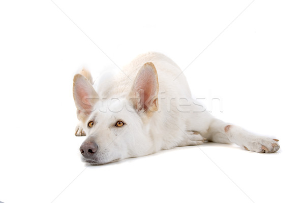 Swiss white shepherd dog  Stock photo © eriklam