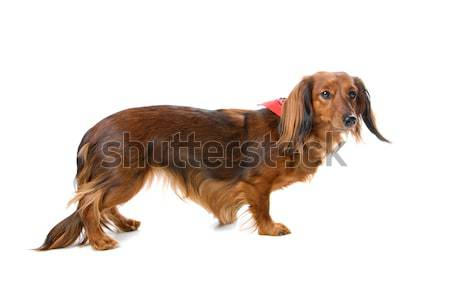 long haired standard dachshund dog  Stock photo © eriklam