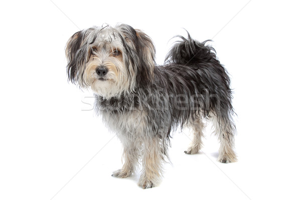 Stock photo: mixed breed maltese dog/yorkshire terrier
