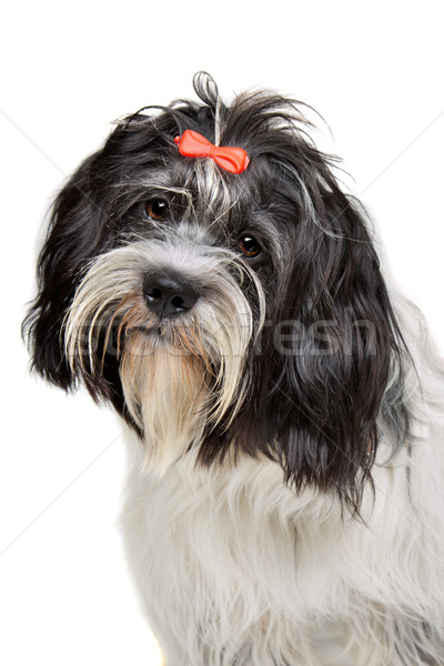 portrait of a mixed breed dog Stock photo © eriklam