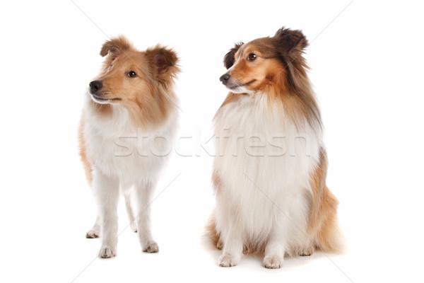 çoban köpeği beyaz arka plan hayvan beyaz arka plan memeli Stok fotoğraf © eriklam