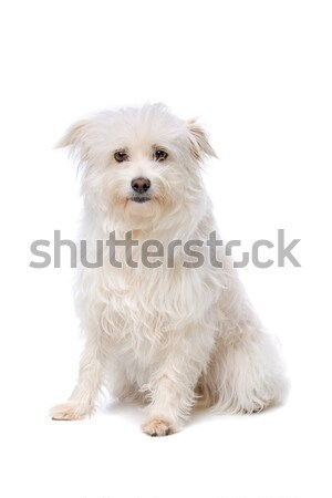 White mixed breed boomer dog Stock photo © eriklam