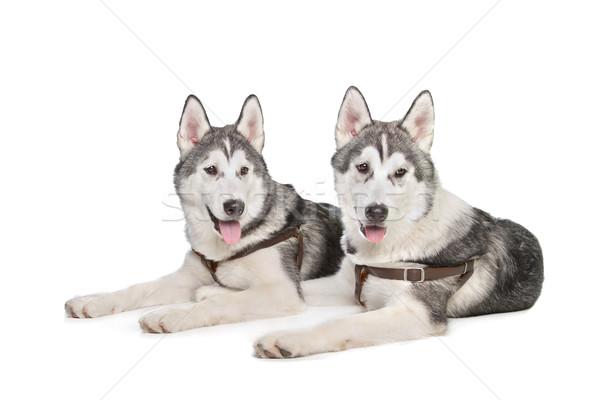ハスキー 2 子犬 白 犬 背景 ストックフォト © eriklam