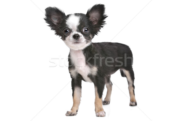 Long haired chihuahua puppy Stock photo © eriklam