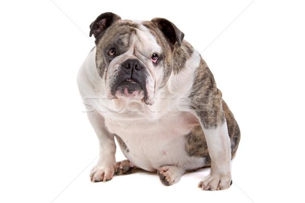 Stockfoto: Engels · bulldog · vergadering · naar · camera · geïsoleerd