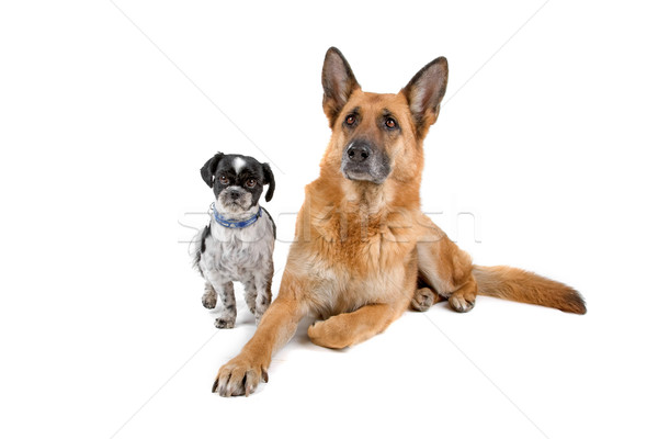 German shepherd and Shih tzu dog Stock photo © eriklam