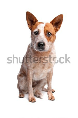 австралийский скота собака красный пальто белый Сток-фото © eriklam