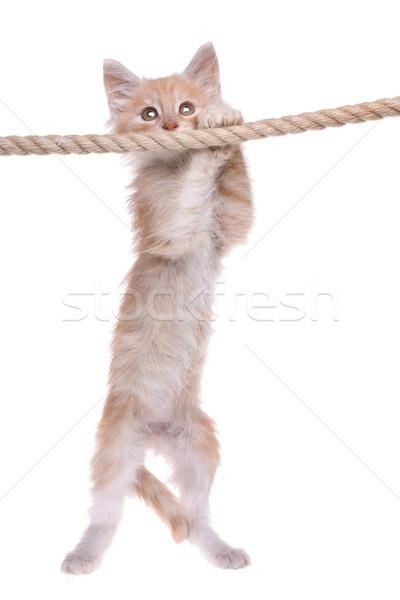 Piros norvég erdő kiscica akasztás kötél Stock fotó © eriklam