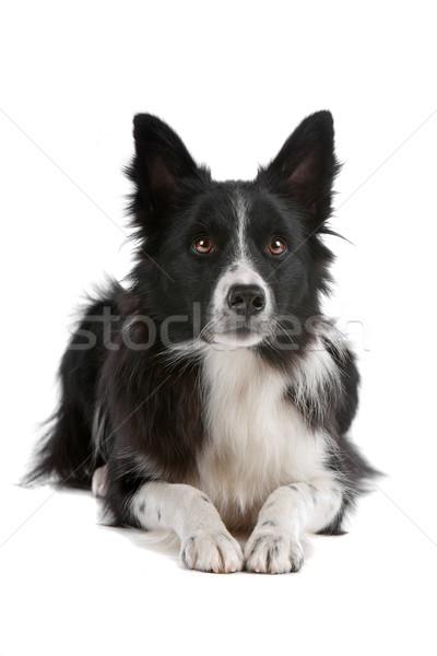Бордер колли овчарка изолированный белый собака границе Сток-фото © eriklam