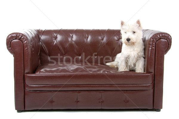 West highland white terrier dog  Stock photo © eriklam