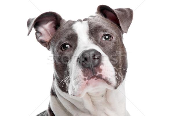 Zdjęcia stock: Szczeniak · psa · biały · domowych · silne