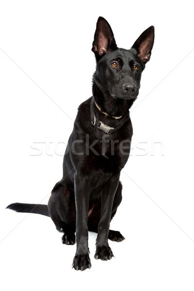 black short haired shepherd Stock photo © eriklam