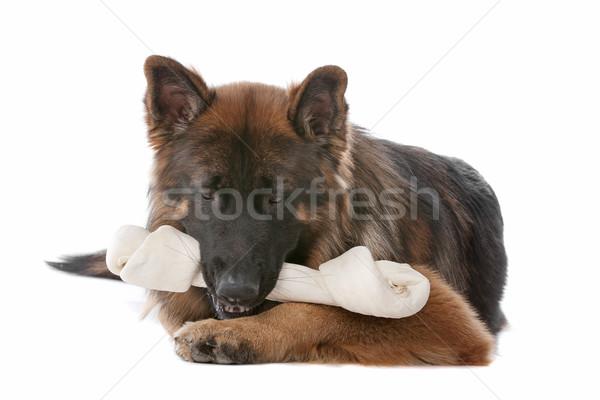 German Shepherd Stock photo © eriklam