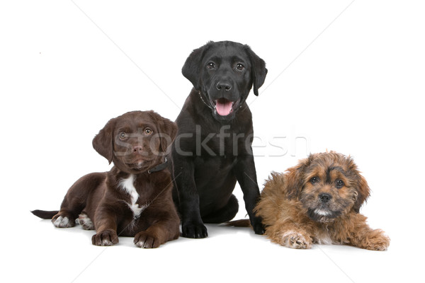 Group of three puppies, two labradors and one boomer Stock photo © eriklam
