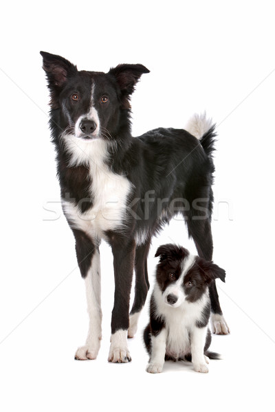 Бордер колли взрослый щенков белый семьи собака Сток-фото © eriklam