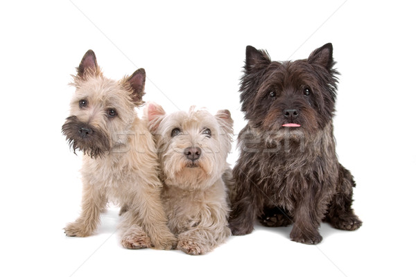 two West Highland White Terrier and one cairn terrier dog  Stock photo © eriklam
