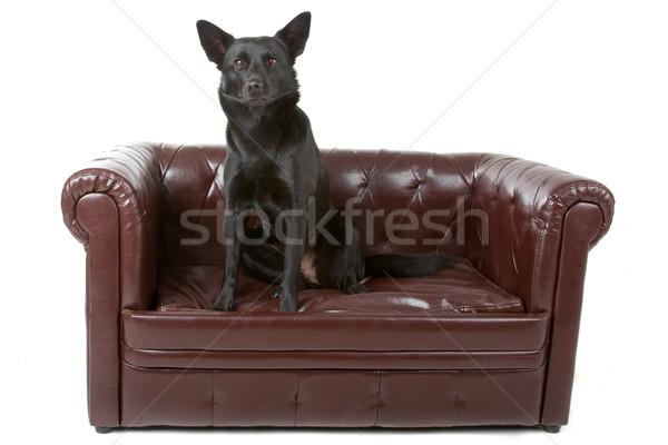 Black australian kelpie dog  Stock photo © eriklam