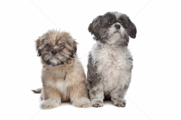 Lhaso apso and a shih tzu Stock photo © eriklam