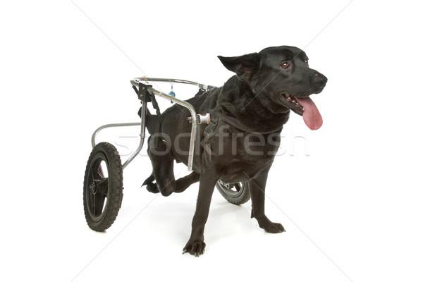 dog in a wheelchair Stock photo © eriklam
