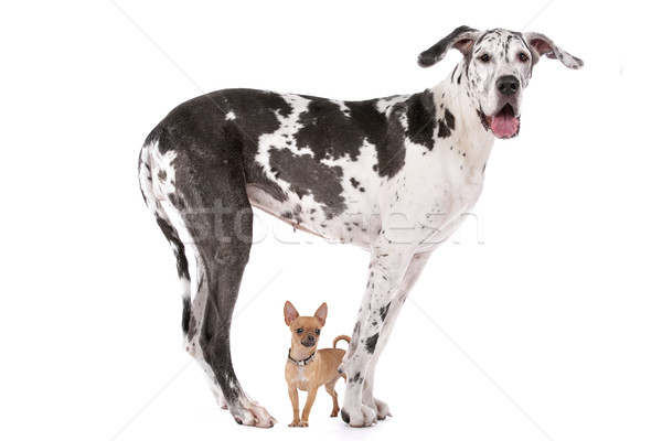 Stock photo: Great Dane HARLEQUIN and a chihuahua