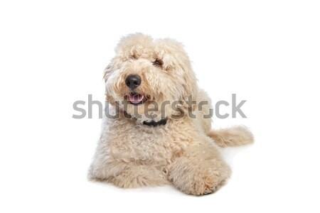 Avustralya köpek arka plan hayvan memeli Stok fotoğraf © eriklam