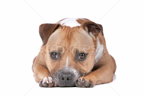 牛 テリア 白 犬 ペット 疲れ ストックフォト © eriklam