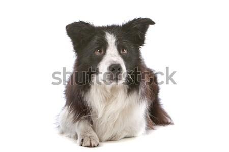 Stok fotoğraf: Border · collie · çoban · köpeği · yalıtılmış · beyaz · köpek · sınır