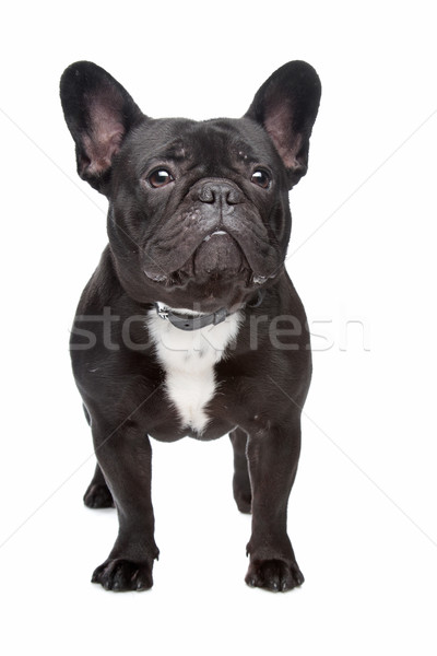 Francês buldogue branco preto estúdio animal de estimação Foto stock © eriklam