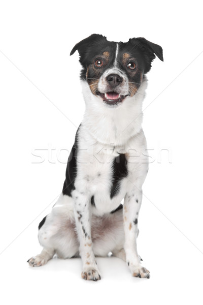 Stock photo: boerenfox terrier