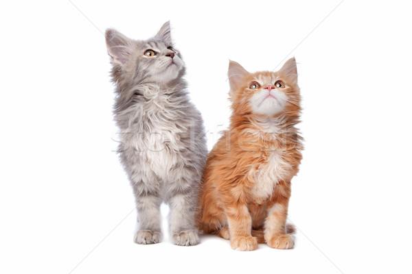 Maine kittens witte groep dier oor Stockfoto © eriklam