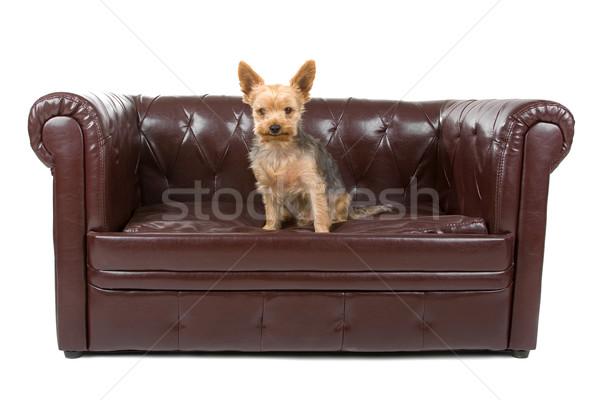 Gemischte Rasse Hälfte terrier cute Stock foto © eriklam