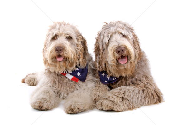 two labradoodle dogs Stock photo © eriklam