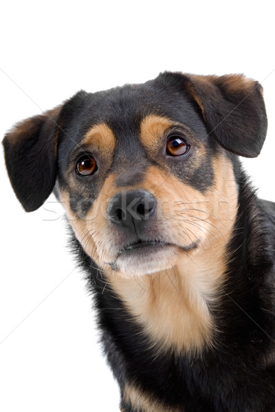 mixed breed dog, head Stock photo © eriklam