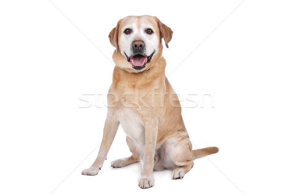Лабрадор ретривер собака изолированный млекопитающее внутренний Сток-фото © eriklam