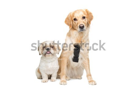 Two mixed breed dogs Stock photo © eriklam
