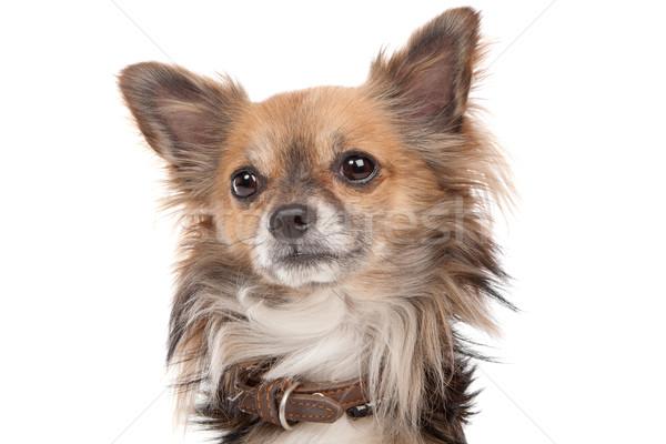 Cão branco marrom Foto stock © eriklam