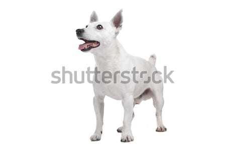 Foto stock: Blanco · terrier · perro · aislado · mamífero