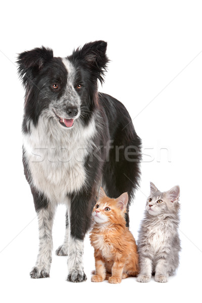 Border collie deux chatons chien de berger permanent chat Photo stock © eriklam