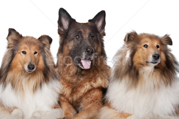 Two Rough Collie dogs and a German Shepherd Stock photo © eriklam